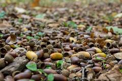 Forest floor (A. Tadic) Tags: acorn oak forest floor ground dof bokeh nature frukagora mountain fall autumn season fruskagora srbija photo earth