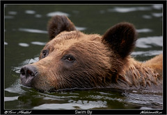 Swim By (Wild Elements.ca) Tags: bc britishcolumbia bccoast bear bears coast grizzlies grizzly grizzlybear grizzlybears mammals wildlife skeenaqueencharlottea canada ca
