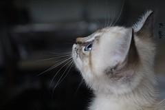 Khaleesi (Cthrsis) Tags: cat siamese blue eyes cute babycat no edit