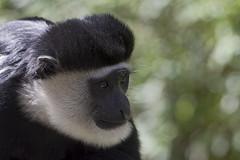 White-cheeked Gibbon 2016-10-14 (60D_4392) (ajhaysom) Tags: whitecheekedgibbon melbourne melbournezoo canoneos60d sigma120400