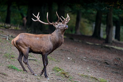Red Deer  |  Rotwild (Natural Photography by CJH) Tags: rotwild deer red reddeer season mate mating woodland woods forest wild wald winter autumn natural wildlife nature nikon d750 telephoto 300mm pf f4 300mmf4 300f4 nikkor teleconverter tc17eii pfedvr