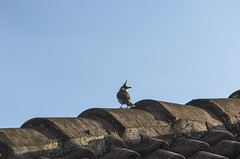red-whiskered bulbul (arcibald) Tags: redwhiskeredbulbul bulbul vientiane laos laopdr roof