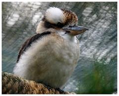 Laughing kookaburra... (kevingrieve610) Tags: kookaburra golders hill park london autumn 2016 fujifilm wow depthoffield