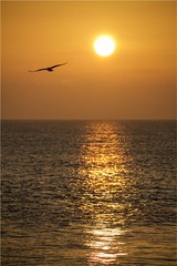 freedom (Massimo Cerrato) Tags: backlight freedom gold sea seagull silhouette sun sunrise sunset sunsetsunrise water