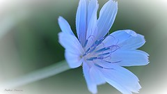 Bleuet des champs (fred'eau) Tags: flower panasonic gh1 50mm fleur bleuet campagne jardin parc fondu