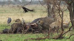 _MG_0536 (esevelez) Tags: tanzania africa serengueti serengeti animales animal animals parque nacional national park nature naturaleza hiena hyena