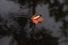 hitching a ride (Pedro Manuel Martins Fernandes) Tags: autumn leaves waterdroplets