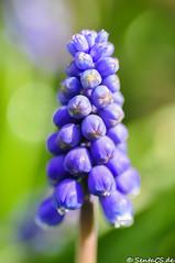 Perlhyazinthe (SentaCS) Tags: flowers blue plants plant flower macro nature nikon bloss