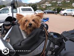 Riding With The Dog (jan-krux photography - thx for 1.4 Mio+ views) Tags: brown southafrica fun small joy riding biking bmw e5 gog westerncape motorbiking rooiels zd r44 bmw1200gs 1260mm bikerlife motorbiketours yorckshireterrier