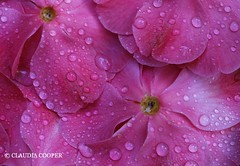 Think Pink! (Claudia Cooper) Tags: pink flowers macro closeup droplets blossoms camellias