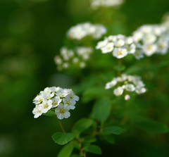Spring freshness (Ivo Angelov) Tags: flowers white flower macro green photography spring bush pentax fresh tamron freshly floret kavarna
