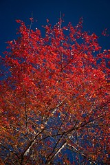 Hot and cold (lights+shades) Tags: blue autumn red hot cold tree colors leaves sydney australia nsw bluemountain mountwilson
