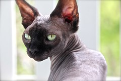Dita (Ancilla Tilia) Tags: cats cat kat kitteh sphynx hairless