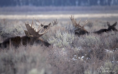 A Moose Sit-Down (chasedekker) Tags: life park wild mountains animals hole wildlife grand moose images jackson deer antlers flats national chase antelope yellowstone wyoming wilderness teton dekker