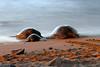 Green Sea turtles #0914 (simone reddingius) Tags: ocean longexposure beach maui endangered slowshutterspeed hawaiiangreenseaturtle