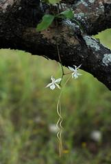 Aerangis kotschyana (zimbart) Tags: africa flowers orchidaceae mozambique aerangis aerangiskotschyana cheringoma