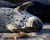 Stretching harbor seal