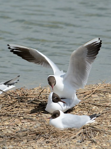 Blackheaded Gull_387