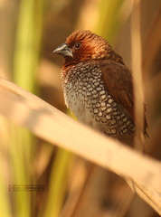 Scaly Breasted Munia (him-photography) Tags: beautiful field canon rebel centre research crop munia efs sugarcane 500d scaly breasted pantnagar f456 uttarakhand 55250mm t1i