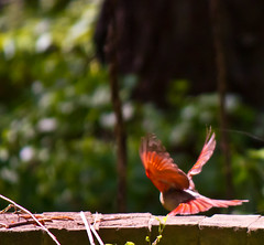 Away we go (Genevievery) Tags: red color green nature birds female composition grey movement cardinal bokeh flight feathers mother mama