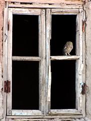 Little Owl in the window (tom_2014) Tags: wild house bird nature ecology birds animal asian cool asia wildlife aves owl urbanwildlife noctua predator uzbekistan centralasia athene biodiversity avifauna littleowl uzbek athenenoctua strigidae colonisation asianbirds asianwildlife
