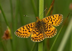 small pearl-bordered fritillary (roly2008 (back, trying to catch up)) Tags: canon butterfly wildlife insects lepidoptera wiltshire fritillary smallpearlborderedfritillary
