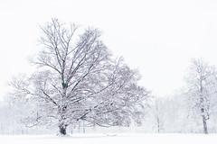 No, thats not a BW (Traveller_40) Tags: 20121227 baum bäume englischgarden schnee snow tree trees black white bw explore innamoramento highkey inexplore