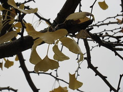 87:365/5, 2014/2015 Ready to fall IMG_9741 (tomylees) Tags: november tree leaves yellow project wednesday 365 essex 26th braintree 2014