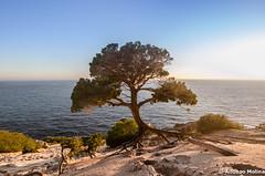 Os presento a mi rbol favorito de Ibiza (soybuscador) Tags: espaa seascape marina atardecer nikon flickr arena atlantis ibiza cielo rbol otoo duna isla diciembre cala baleares facebook tradicin 2014 trbol excursin 1412 santjosep trifoliado sapedrera d7000 trilobulado soybuscadorgmailcom