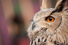 Ojos de bho (Raquel Endless) Tags: look animal eyes nikon market medieval mercado ojos owl vic animales tamron mirada vc bho 70300 d5000