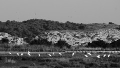 little egret- aigrette gazette- Egretta garzetta (Morgan Boch) Tags: blackandwhite birds noiretblanc aude egret oiseaux aigrette nikond300s morganboch