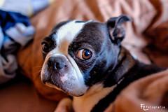 Boston Terrier Henry