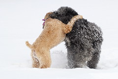 Ringo and Murphy (Doris Burfind) Tags: winter dog pet snow animal hug play wheatenterrier bouvier