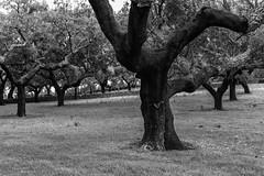 Descorchados (Eduardo Estllez) Tags: bw espaa naturaleza blancoynegro horizontal monocromo arboles natural bosque campo alcornoques dehesa nadie extremadura ramas pelados alcornocales valenciadealcantara aceadelaborrega eduardoestellez estellez corchacorchero