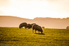 The Neighbours (Jonathan Huelin) Tags: nature field animals wales nikon sheep country hills herd d3000