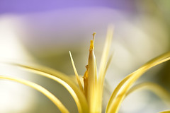 Tillandsia (Lynn Wen (pandadd)-BUSY!) Tags: white flower macro nature nikon bokeh tillandsia bloom druid ionantha airplant naturemacro blooming 105mm afsvrmicronikkor105mmf28gifed nikond810