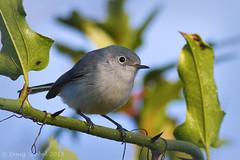 Blue-gray Gnatcatcher (Doug Scobel) Tags: reserve caerulea bluegray gnatcatcher polioptila circlebbar