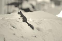 On Patrol (flashfix) Tags: blackandwhite white snow ontario canada nature monochrome rodent nikon squirrel ottawa lookout chipmunk mothernature snowpile 2015 neighbourhoodwatch onwatch d7000 nikond7000 55mm300mm february102015 2015inphotos littleguybigattitude