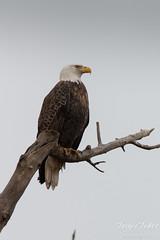 Bald Eagle poses, surveys the landscape