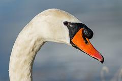 Swan Profile at Nene Park Trust 27/02/15 (johnatkins2008) Tags: riverside lakeside swans waterside muteswans ferrymeadows neneparktrust johnatkins2008