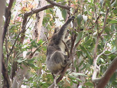 Reaching Koala