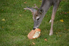 Deer (thomas.hartmann496) Tags: white animal bread photo eating lawn deer antlers hungry loaf tailed