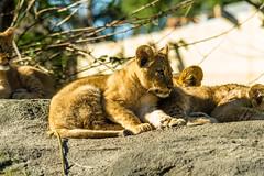 Lion Cubs (f1crazed) Tags: seattle park woodland washington unitedstates lions cubs f1crazed zooseattlewashington sigma150500mmf563dgoshsm flickrbigcats