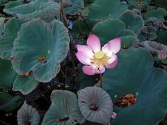 bali-lotus