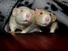 My Girlfriend's Rats, Elsa and Astrid (Jamie Peters) Tags: rat dumboratdumboratrodentanimalpetcute