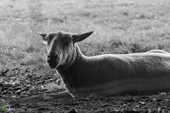 Ewe Lookin at Me? (Stuart_Byles) Tags: blackandwhite bw sheep bokeh lying gaze hdr ewe