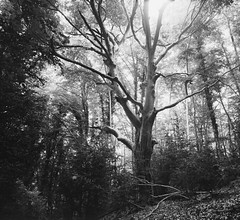 Tolkien beech (Escipi) Tags: mamiya7 film ilfordpanf50 ilfosol3 mamiya43mm tripod forest beech magic unreal
