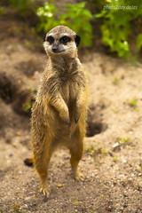 Erdmnnchen (AchimSchmidt) Tags: zoo halle tier erdmnnchen