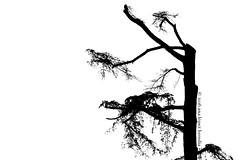 El rbol minimalista  The minimalist tree (Ana Lpez Heredia) Tags: analpezheredia canoneos600d canon eos 600d tamron18270mmf3563diiivcpzd tamron rbol tree blancoynegro blackandwhite blanco negro fondoblanco bw white black ramas minimalismo minimalism minimalista minimalist caldesdemontbui vallsoriental barcelona contraluz