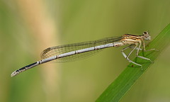 White-legged Damselfly (Platycnemis pennipes).. (festoon1) Tags: damselfly whiteleggeddamselfly platycnemispennipes